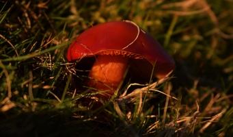 crimson wax cap