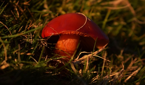 crimson wax cap